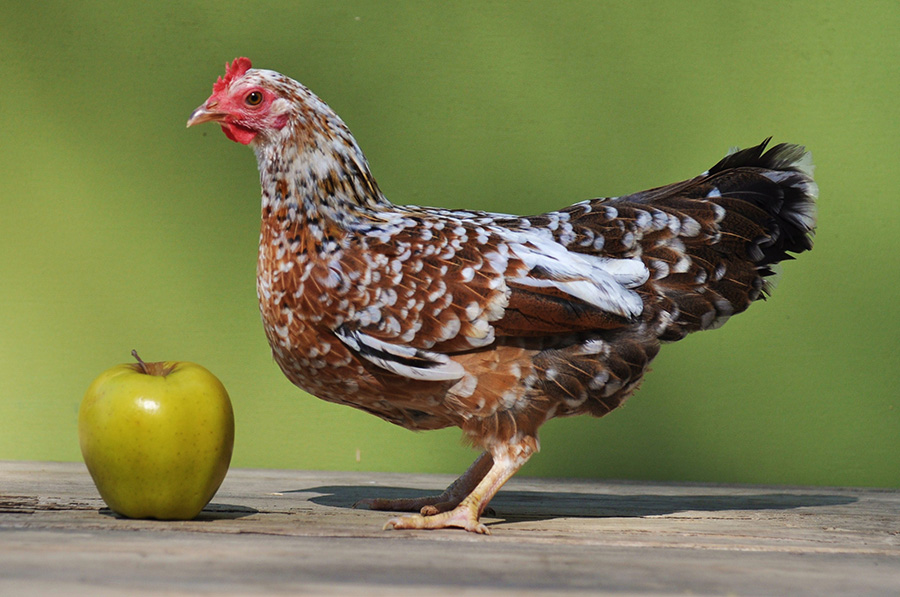 10-most-expensive-chickens-in-the-world